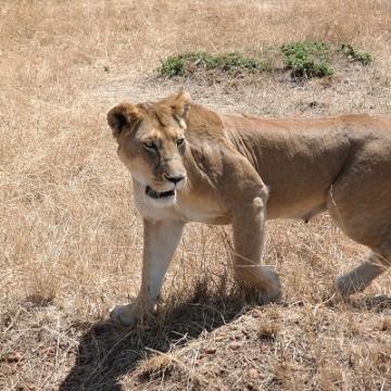 lion verkleind 3
