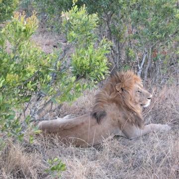 lion verkleind