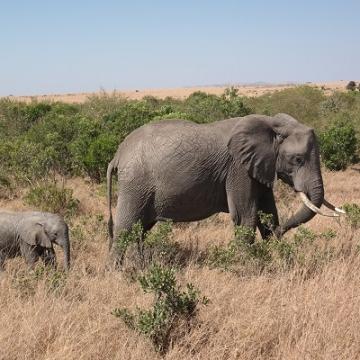 olifant verkleind