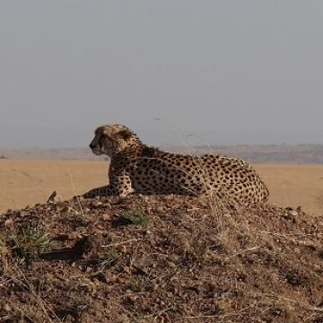 verkleind cheetah